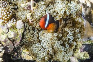 Adult tomato clownfish , Mengiatan Island, Komodo Nat'l Park, Flores Sea, Indonesia, Southeast Asia by Michael Nolan