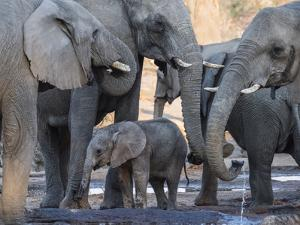 African elephant (Loxodonta africana), herd drinking at a watering hole, Okavango Delta, Botswana by Michael Nolan