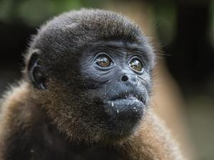 An adult common woolly monkey (Lagothrix lagothricha), in the trees along the Yarapa River, Peru by Michael Nolan