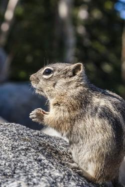 An Adult Golden-Mantled Ground Squirrel (Callospermophilus Lateralis) by Michael Nolan