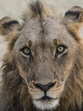 An adult male lion (Panthera leo), South Luangwa National Park, Zambia by Michael Nolan