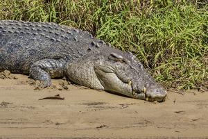 An Adult Wild Saltwater Crocodile (Crocodylus Porosus) by Michael Nolan