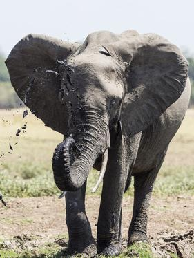 An African bush elephant (Loxodonta africana) at a watering hole, Zambia by Michael Nolan