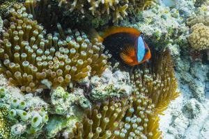 Anemonefish in Anemone on Underwater Reef on Jaco Island, Timor Sea, East Timor, Asia by Michael Nolan