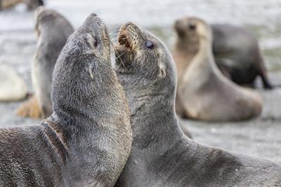 Antarctic Fur Seal (Arctocephalus Gazella) Pups by Michael Nolan