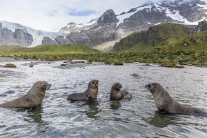 Antarctic Fur Seal Pups (Arctocephalus Gazella) Mock-Fighting in Gold Harbor by Michael Nolan