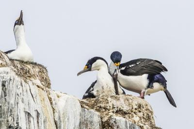 Antarctic Shags (Phalacrocorax [Atriceps] Bransfieldensis) by Michael Nolan