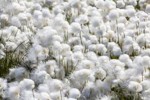 Arctic Cotton Grass (Eriophorum Scheuchzeri) Flowering in Sisimiut, Greenland, Polar Regions by Michael Nolan