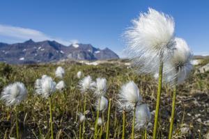 Arctic Cottongrass (Eriophorum Callitrix), Heckla Haven, Northeast Greenland, Polar Regions by Michael Nolan