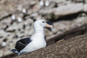 Black-browed albatross (Thalassarche melanophris) in breeding colony on Saunders Island, Falkland I by Michael Nolan