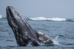 California gray whale calf (Eschrichtius robustus), breaching in San Ignacio Lagoon, Mexico by Michael Nolan