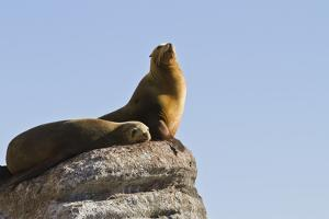 California Sea Lion (Zalophus Californianus), Los Islotes, Baja California Sur, Mexico by Michael Nolan