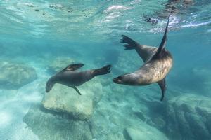 California Sea Lions (Zalophus Californianus), Playing Underwater at Los Islotes by Michael Nolan