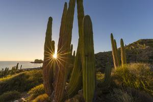 Cardon Cactus (Pachycereus Pringlei) at Sunset on Isla Santa Catalina, Baja California Sur, Mexico by Michael Nolan
