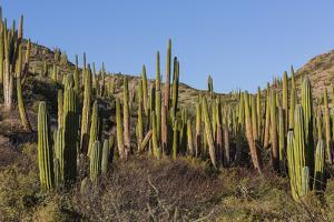 Cardon Cactus (Pachycereus Pringlei), on Isla Santa Catalina, Baja California Sur by Michael Nolan