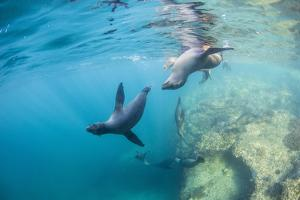Curious California Sea Lion Pups (Zalophus Californianus), Underwater at Los Islotes by Michael Nolan