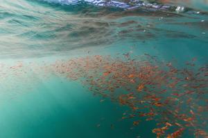 Dense Swarms of Juvenile Squat Lobster (Munida Gregaria) Off Akaroa by Michael Nolan