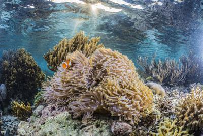 False clown anemonefish , Sebayur Island, Komodo Island Nat'l Park, Indonesia, Southeast Asia by Michael Nolan