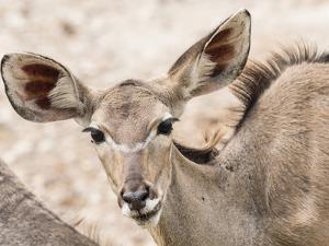 Female greater kudu (Tragelaphus strepsiceros), Chobe National Park, Botswana by Michael Nolan