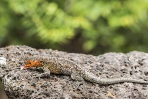 Female Santa Cruz Lava Lizard (Microlophus Indefatigabilis) by Michael Nolan