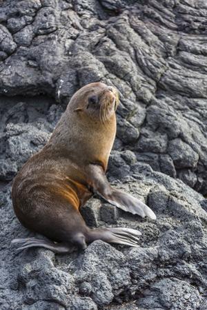 Galapagos Fur Seal (Arctocephalus Galapagoensis) Hauled Out at Puerto Egas by Michael Nolan