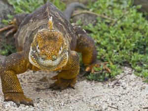 Galapagos Land Iguana (Conolophus Subcristatus), Galapagos Is, UNESCO World Heritge Site, Ecuador by Michael Nolan