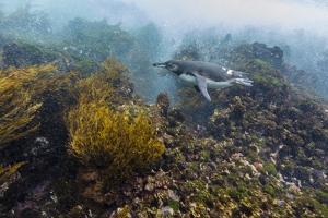 Galapagos Penguin (Spheniscus Mendiculus) Underwater at Isabela Island by Michael Nolan