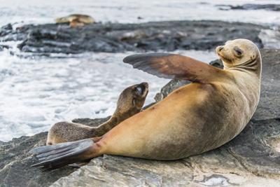 Galapagos Sea Lion (Zalophus Wollebaeki) Pup Nursing in Puerto Egas by Michael Nolan
