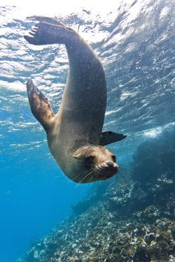 Galapagos Sea Lion (Zalophus Wollebaeki) Underwater, Champion Island, Galapagos Islands, Ecuador by Michael Nolan