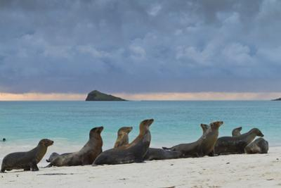 Galapagos Sea Lions (Zalophus Wollebaeki), Gardner Bay, Espanola Islands, UNESCO Site, Ecuador by Michael Nolan