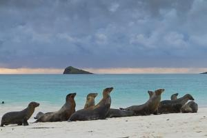Galapagos Sea Lions (Zalophus Wollebaeki), Gardner Bay, Espanola Islands, UNESCO Site, Ecuador by Michael Nolan