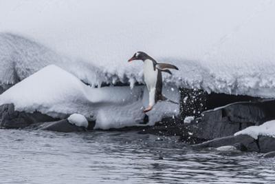 Gentoo Penguin (Pygoscelis Papua) Leaping into the Sea at Booth Island, Antarctica, Polar Regions by Michael Nolan