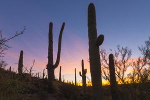 Giant saguaro cactus (Carnegiea gigantea) at dawn in the Sweetwater Preserve, Tucson, Arizona, Unit by Michael Nolan