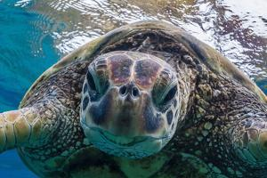 Green Sea Turtle (Chelonia Mydas) Underwater, Maui, Hawaii, United States of America, Pacific by Michael Nolan