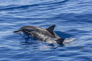 Hawaiian Spinner Dolphins (Stenella Longirostris) by Michael Nolan