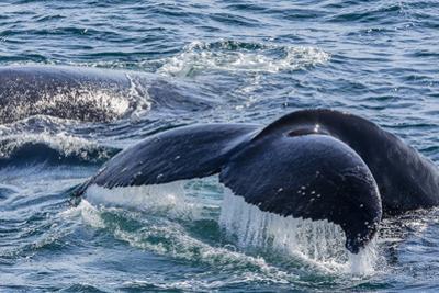 Humpback Whale (Megaptera Novaeangliae) Flukes-Up Dive in Dallmann Bay, Antarctica, Polar Regions by Michael Nolan