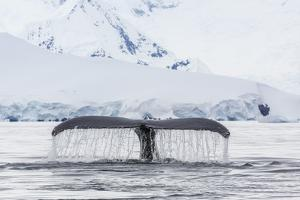 Humpback Whale (Megaptera Novaeangliae), Flukes-Up Dive in the Enterprise Islands, Antarctica by Michael Nolan