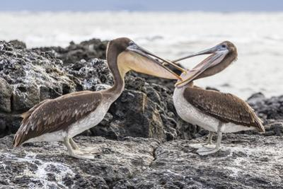 Immature Brown Pelicans (Pelecanus Occidentalis) Inspecting Each Others Bills at Puerto Egas by Michael Nolan