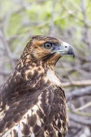 Immature Galapagos Hawk (Buteo Galapagoensis) in Urbina Bay by Michael Nolan
