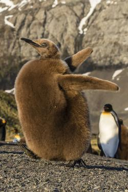 King Penguin Chick (Aptenodytes Patagonicus), Ecstatic Display in Gold Harbor, South Georgia by Michael Nolan