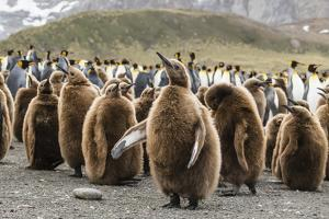 King penguin oakum boy chicks molting their down at Gold Harbor, South Georgia Island by Michael Nolan