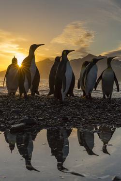 King Penguins (Aptenodytes Patagonicus) at Sunrise, in St. Andrews Bay, South Georgia by Michael Nolan