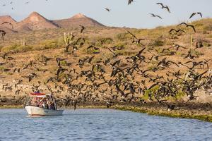 Magnificent Frigatebirds (Fregata Magnificens), San Gabriel Bay, Espiritu Santo Island by Michael Nolan