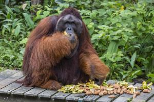 Male Bornean Orangutan (Pongo Pygmaeus) with Full Cheek Pads, Malaysia by Michael Nolan
