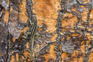 Male Santa Cruz Lava Lizard (Microlophus Indefatigabilis) by Michael Nolan