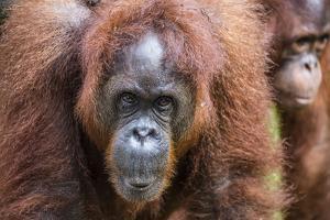 Mother and Infant Bornean Orangutan (Pongo Pygmaeus), Malaysia by Michael Nolan