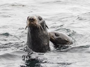 Northern fur seals (Callorhinus ursinus), Bering Island, Commander Island Group, Kamchatka, Russia by Michael Nolan