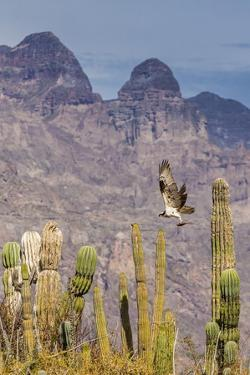 Osprey (Pandion Haliaetus) Taking Flight with Fish Near Honeymoon Bay by Michael Nolan