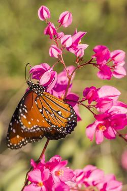 Queen Butterfly (Danaus Gilippus) on Queen's Wreath (Antigonon Leptopus) by Michael Nolan