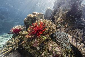 Red crinoid on Tengah Kecil Island, Komodo National Park, Flores Sea, Indonesia, Southeast Asia by Michael Nolan